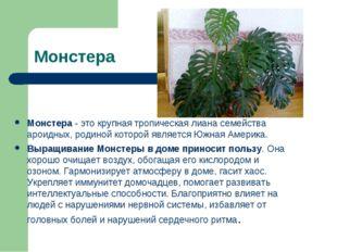 Монстера Монстера - это крупная тропическая лиана семейства ароидных, родиной