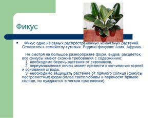 Фикус Фикус одно из самых распространенных комнатных растений. Относится к