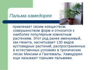 Пальма хамедорея привлекает своим изяществом, совершенством форм и относится