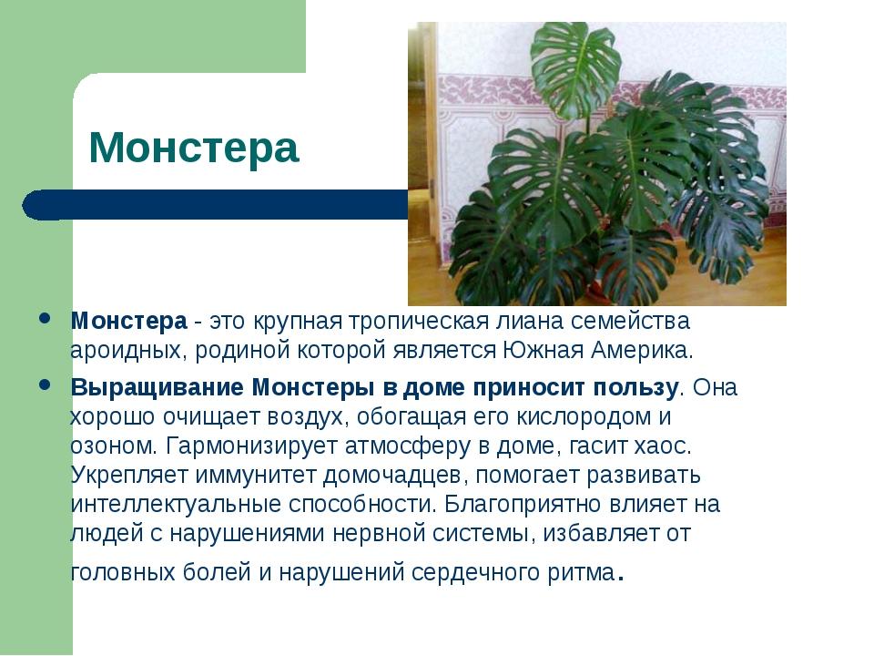 Монстера Монстера - это крупная тропическая лиана семейства ароидных, родиной...