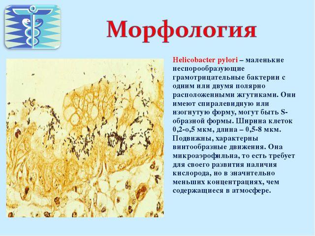 Helicobacter pylori – маленькие неспорообразующие грамотрицательные бактерии...