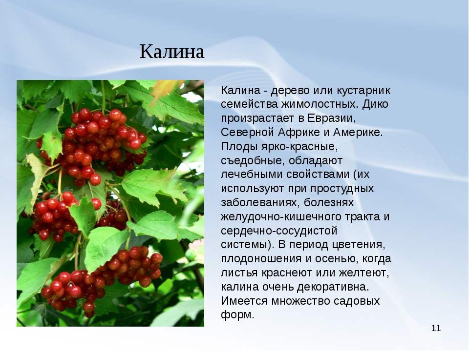 * Калина Калина - дерево или кустарник семейства жимолостных. Дико произраста...