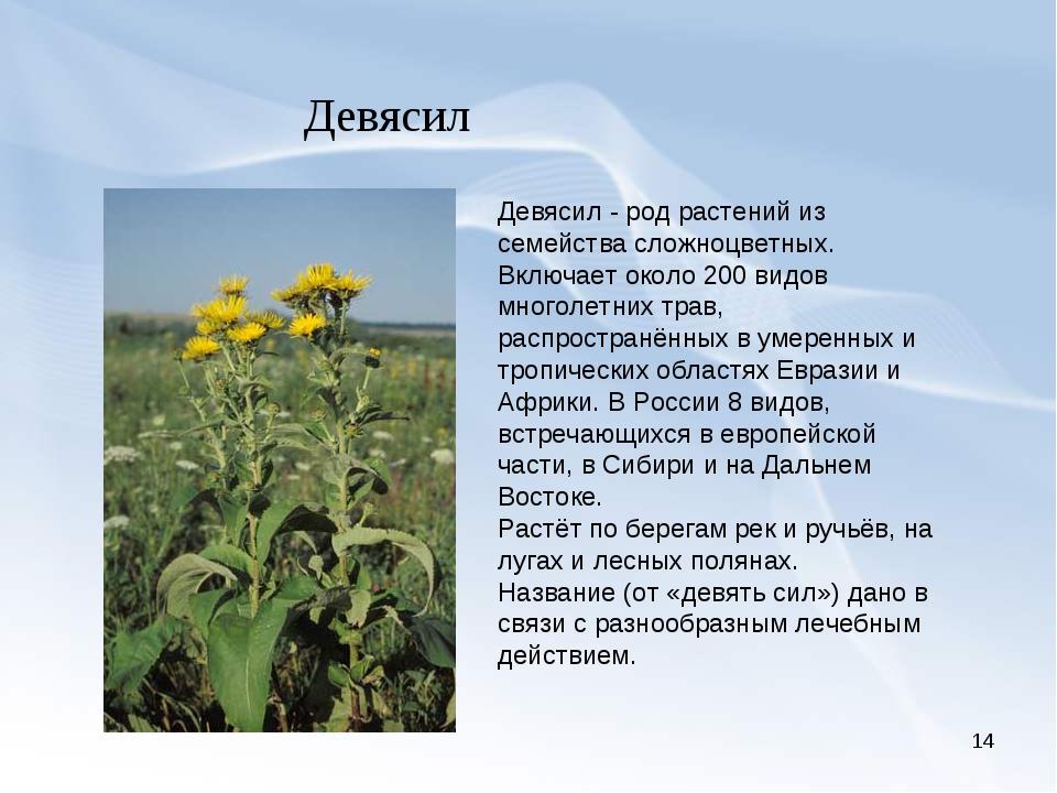 * Девясил Девясил - род растений из семейства сложноцветных. Включает около 2...