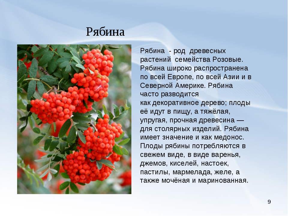 * Рябина Рябина -род древесных растений семействаРозовые. Рябина широко...