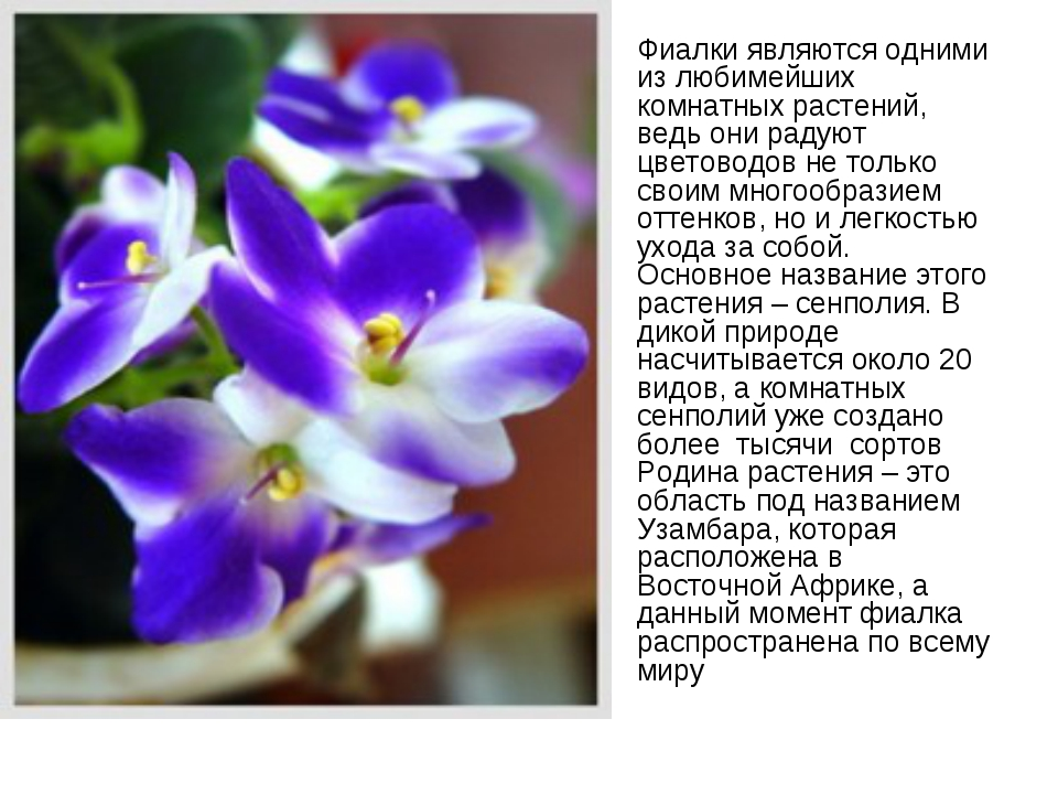 Фиалки являются одними из любимейших комнатных растений, ведь они радуют цвет...