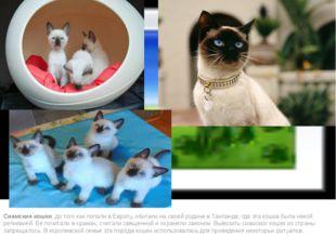 Сиамские кошки, до того как попали в Европу, обитали на своей родине в Таила