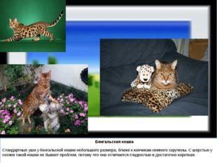 Бенгальская кошка Стандартные уши у бенгальской кошки небольшого размера, бл