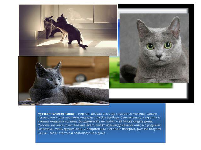 Русская голубая кошка - мирная, добрая и всегда слушается хозяина, однако по...