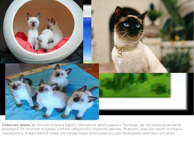 Сиамские кошки, до того как попали в Европу, обитали на своей родине в Таила...