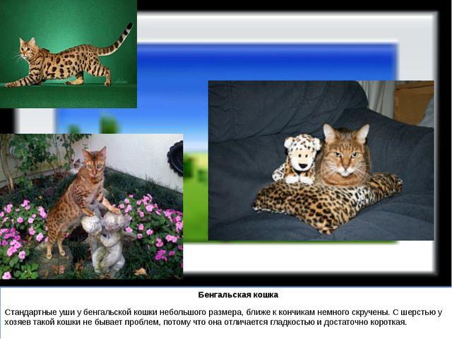 Бенгальская кошка Стандартные уши у бенгальской кошки небольшого размера, бл...