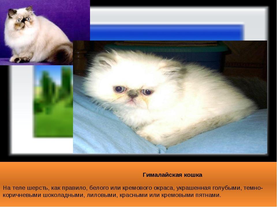 Гималайская кошка На теле шерсть, как правило, белого или кремового окраса,...