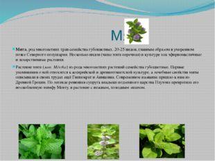 Мята Мята, род многолетних трав семейства губоцветных. 20-25 видов, главным