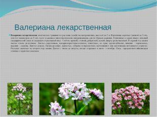 Валериана лекарственная Валериана лекарственная, многолетнее травянистое рас