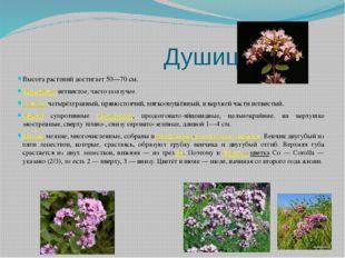 Душица Высота растений достигает 50—70 см. Корневище ветвистое, часто ползуч