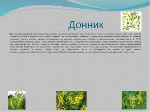 Донник Донник лекарственный, двулетнее растение семейства бобовых (Fabaceae)