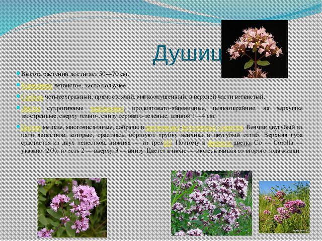 Душица Высота растений достигает 50—70 см. Корневище ветвистое, часто ползуч...