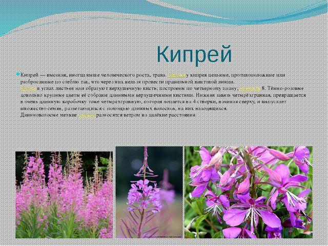 Кипрей Кипрей — высокая, иногда выше человеческого роста, трава. Листья у ки...