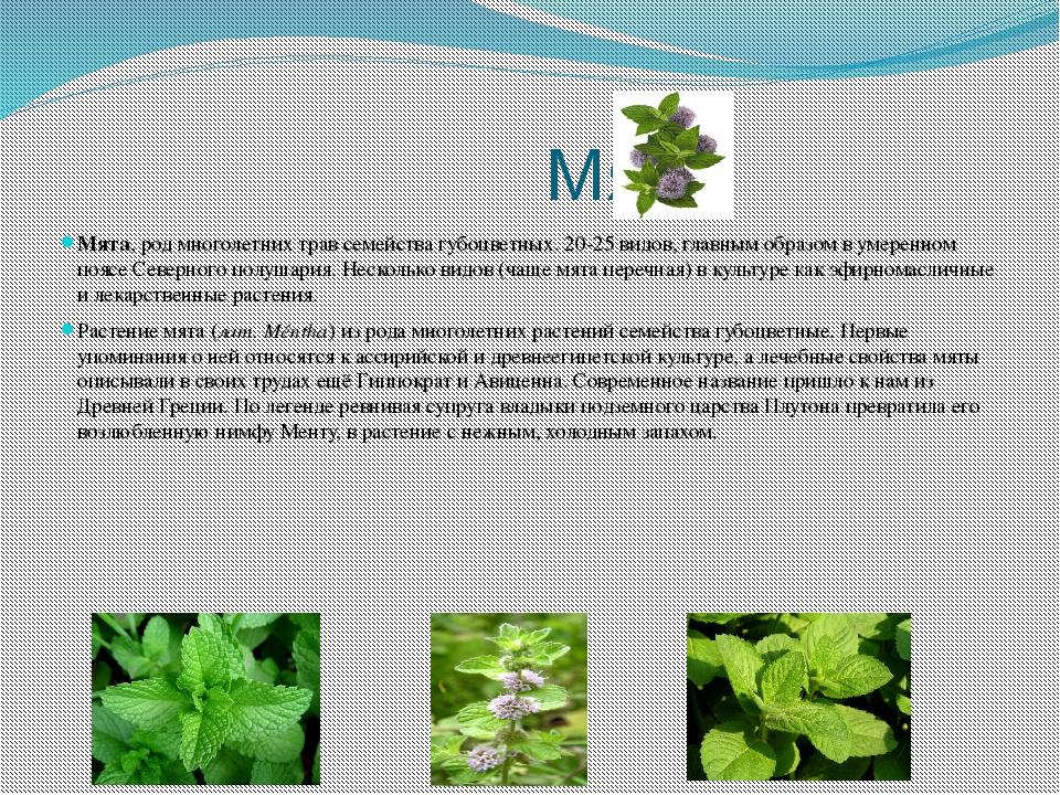 Мята Мята, род многолетних трав семейства губоцветных. 20-25 видов, главным...