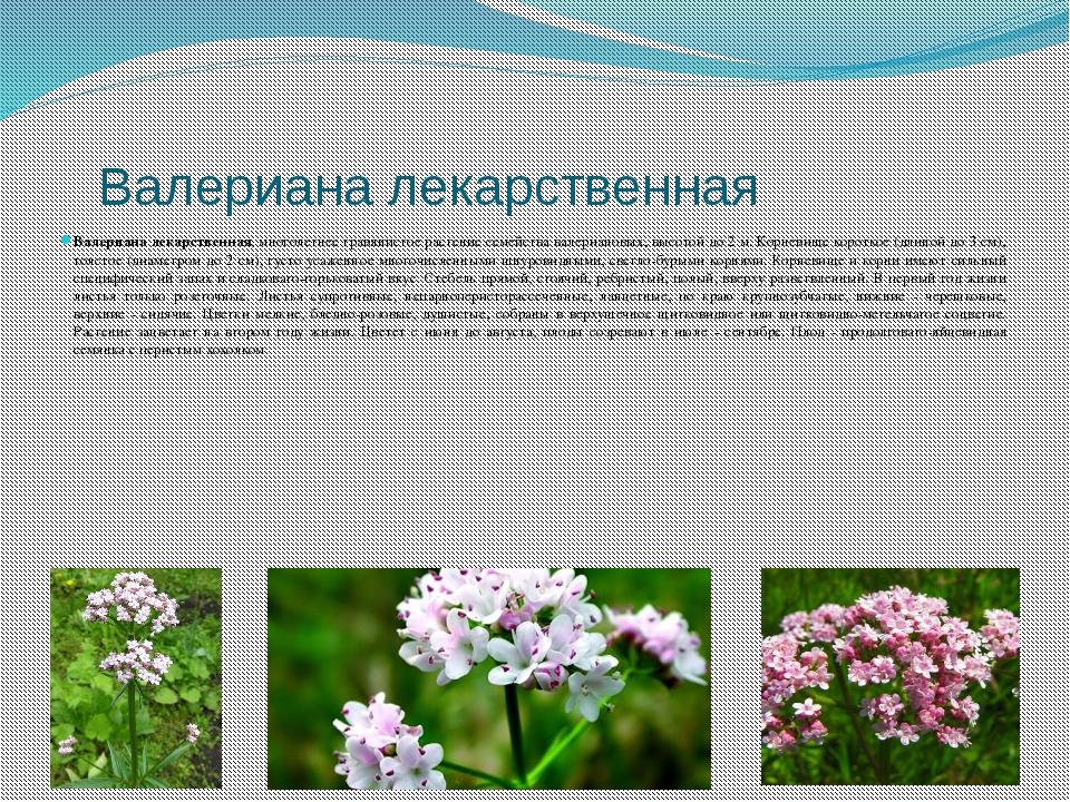 Валериана лекарственная Валериана лекарственная, многолетнее травянистое рас...