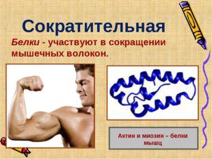 Сократительная Белки - участвуют в сокращении мышечных волокон. Актин и миози