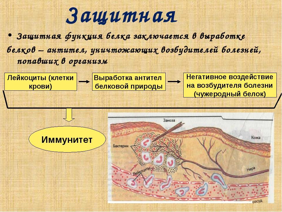 Защитная Защитная функция белка заключается в выработке белков – антител, ун...