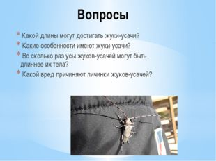 Вопросы Какой длины могут достигать жуки-усачи? Какие особенности имеют жуки-
