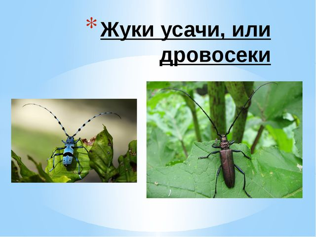 Жуки усачи, или дровосеки
