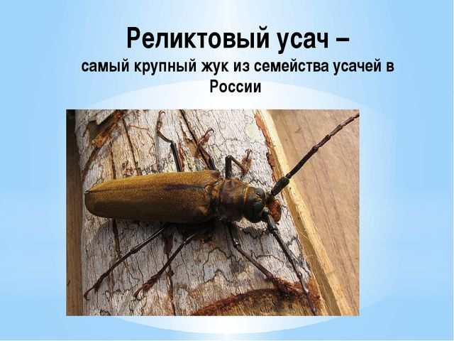 Реликтовый усач – самый крупный жук из семейства усачей в России