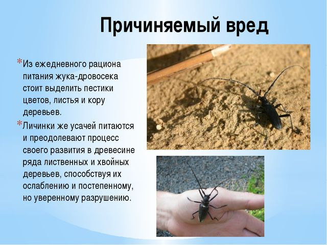 Причиняемый вред Из ежедневного рациона питания жука-дровосека стоит выделить...