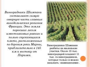Виноградники Шампани разбиты на маленькие участки. Около 15 тыс. виноградарей