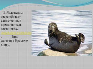 В Ладожском озере обитает единственный представитель ластоногих, ладожская