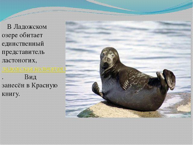 В Ладожском озере обитает единственный представитель ластоногих, ладожская...