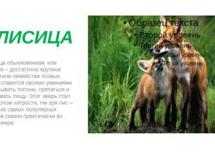 ЛИСИЦА Лисица обыкновенная, или рыжая – достаточно крупное животное семейств