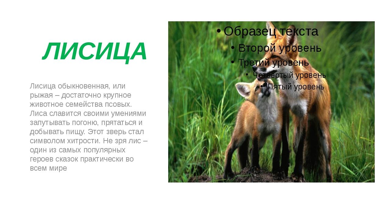 ЛИСИЦА Лисица обыкновенная, или рыжая – достаточно крупное животное семейств...