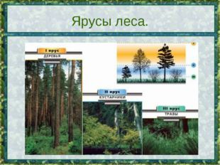 Ярусы леса.