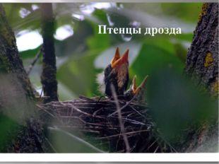 Птенцы дрозда