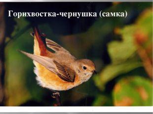 Горихвостка-чернушка (самка)