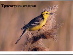 Трясогуска желтая