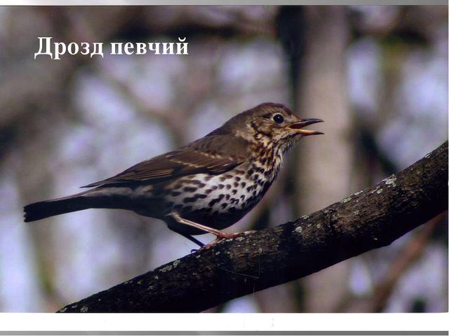 Дрозд певчий