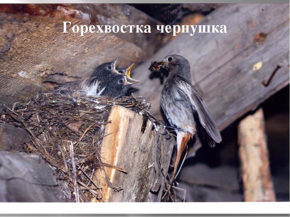 Горехвостка чернушка