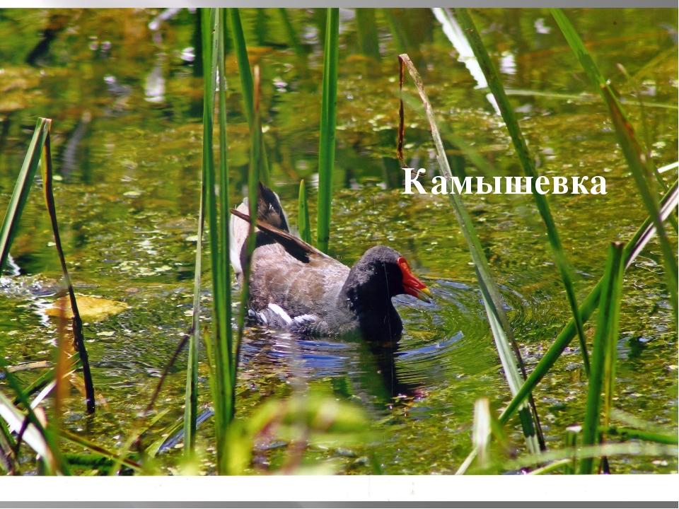 Камышевка