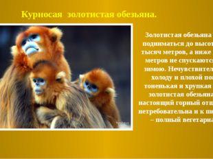 Золотистая обезьяна может подниматься до высоты трех тысяч метров, а ниже тыс