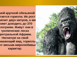 Самой крупной обезьяной считается горилла. Их рост достигает двух метров, а в