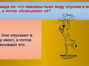 3.Правда ли, что павианы пьют воду опуская в воду руку, а потом обсасывают её