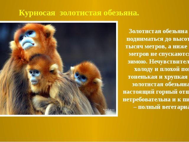 Золотистая обезьяна может подниматься до высоты трех тысяч метров, а ниже тыс...