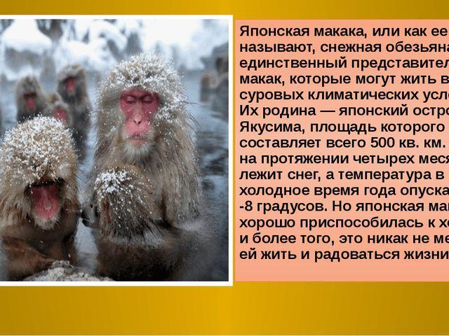 Японская макака, или как ее еще называют, снежная обезьяна — единственный пре...
