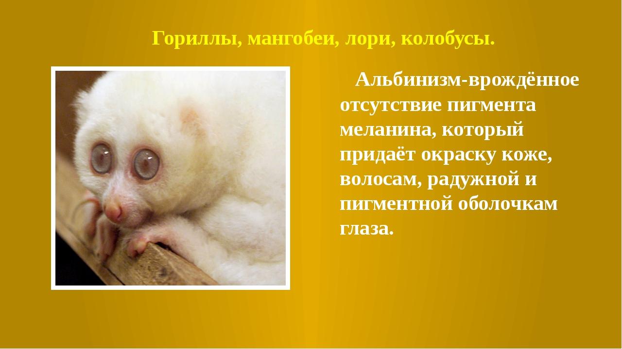 Гориллы, мангобеи, лори, колобусы. Альбинизм-врождённое отсутствие пигмента м...