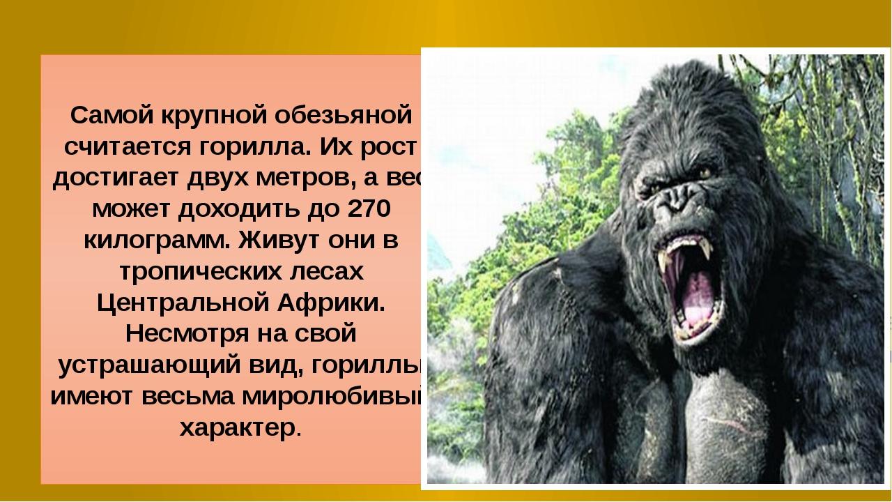 Самой крупной обезьяной считается горилла. Их рост достигает двух метров, а в...