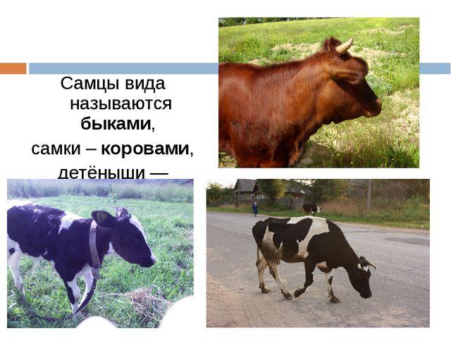 Самцы вида называются быками, самки – коровами, детёныши — телятами.