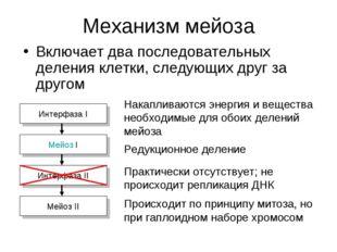 Механизм мейоза Включает два последовательных деления клетки, следующих друг